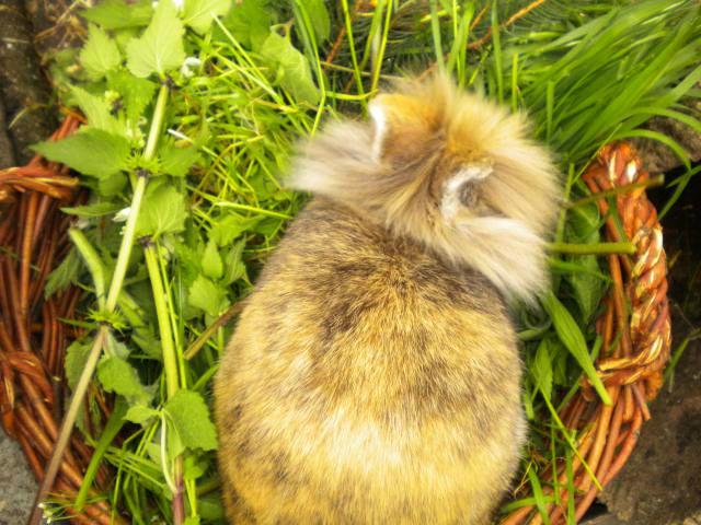 Kaninchen braun sitzt im Grün