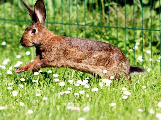 Kaninchen braun springt im Gras