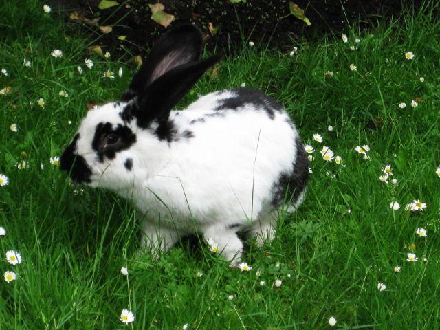 Kaninchen gescheckt auf der Wiese