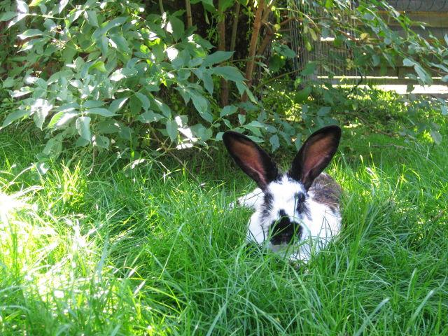 Kaninchen gescheckt liegt Rasen