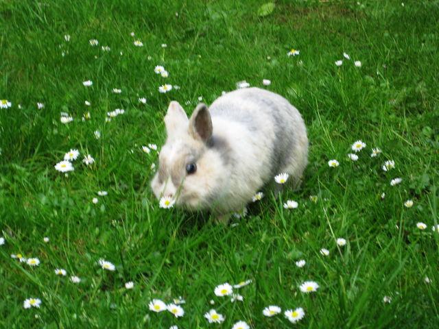 Kaninchen grau auf der Wiese