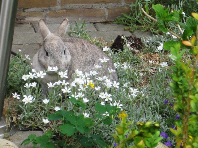 Kaninchen grau im Blumenbeet