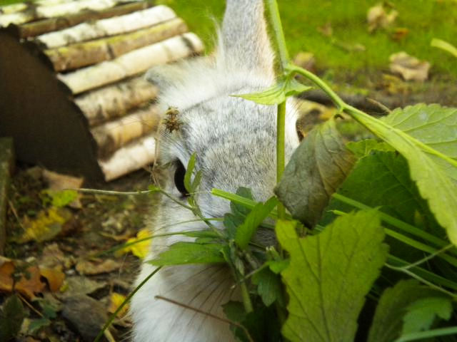 Kaninchen grau knabbert Ast