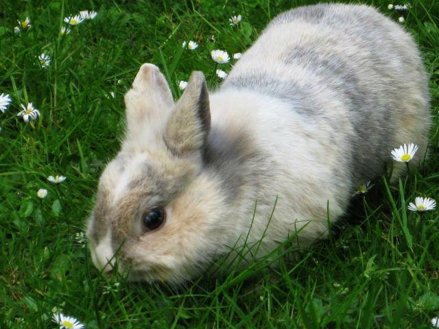 Kaninchen grau-weiß auf Wiese