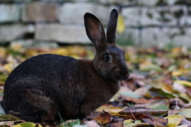 Kaninchen braun sitzend