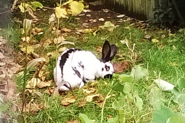 Kaninchen gescheckt auf Wiese