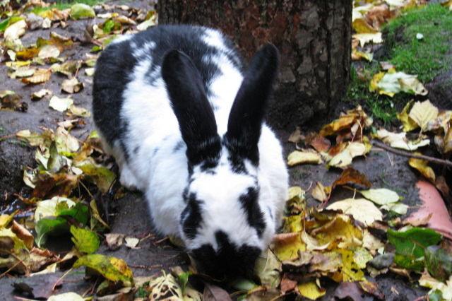 Kaninchen gescheckt mit Laub