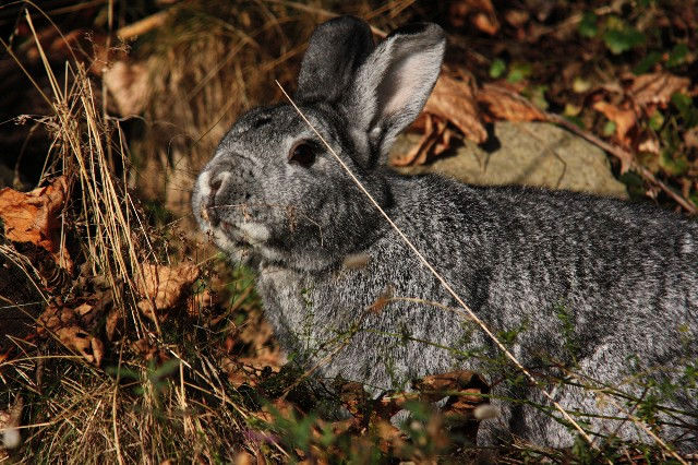 Kaninchen grau