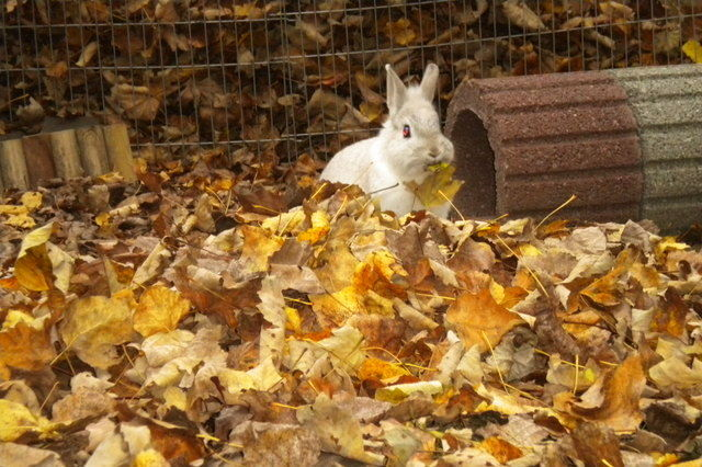 Kaninchen grau im Laub