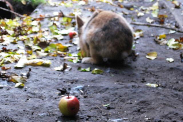 Kaninchen mit Apfel