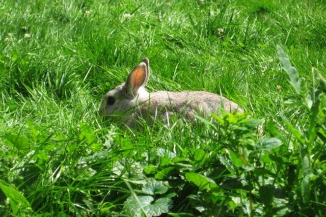 Kaninchen beige auf Wiese