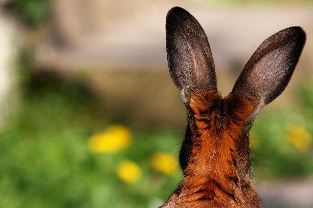 Kaninchen braun Ohren