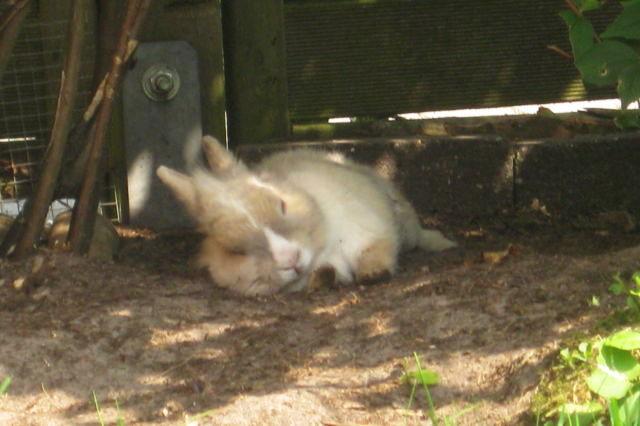 Kaninchen braun liegt