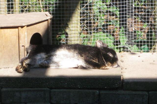 Kaninchen dunkelbraun liegt