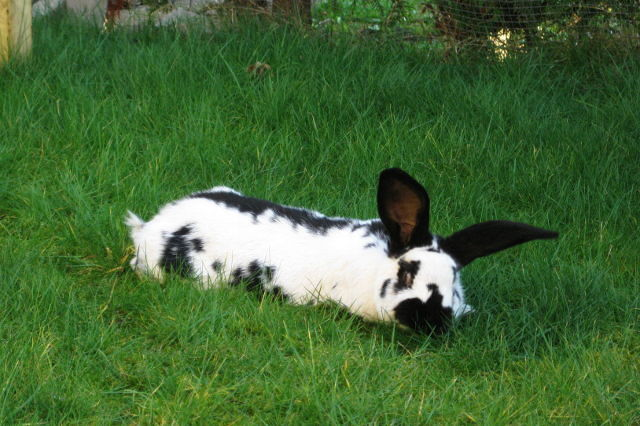 Kaninchen gescheckt liegt