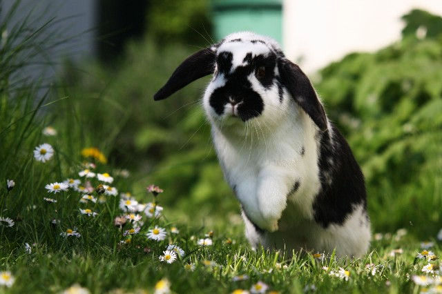 Kaninchen gescheckt springt