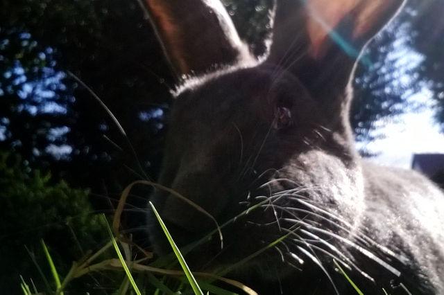 Kaninchen grau Großaufnahme
