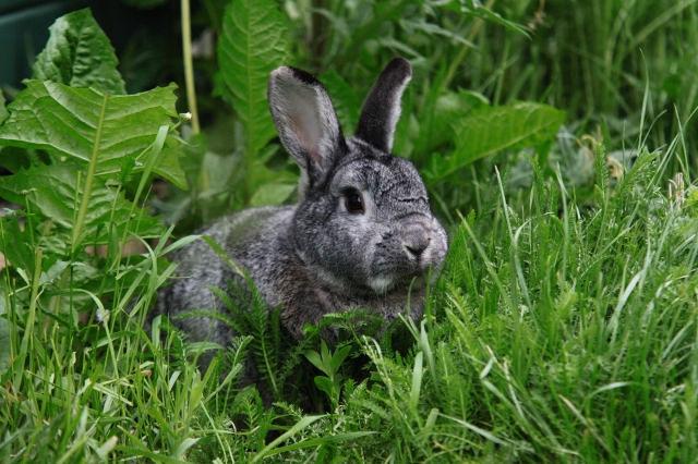 Kaninchen grau auf Wiese