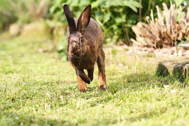 Kaninchen läuft