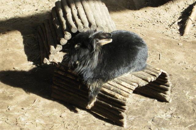 Kaninchen schwarz auf Weidenbrücke