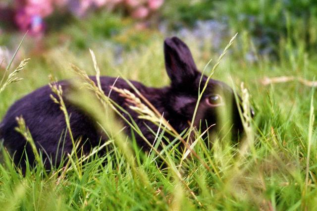 Kaninchen schwarz auf Wiese