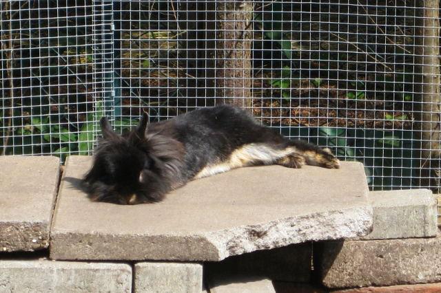 Kaninchen schwarz liegt auf Steinen