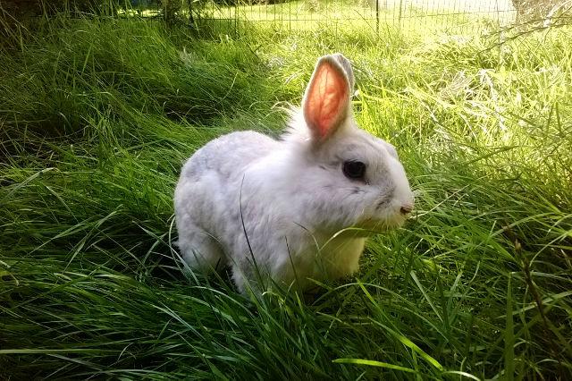 Kaninchen weiß auf Wiese