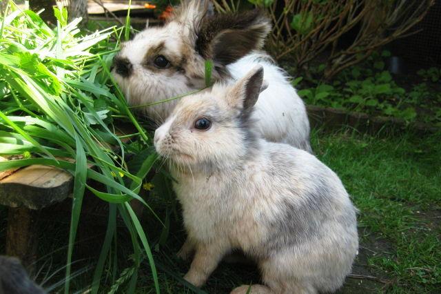 Kaninchenpaar beim Fressen