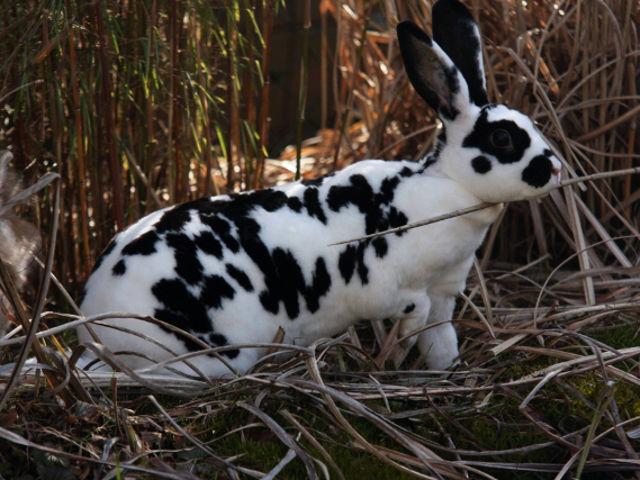 Kaninchen gescheckt