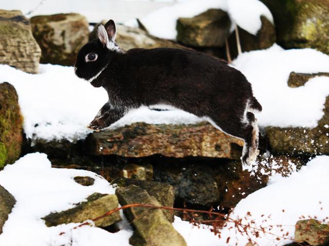 Kaninchen dunkel springt im Schnee