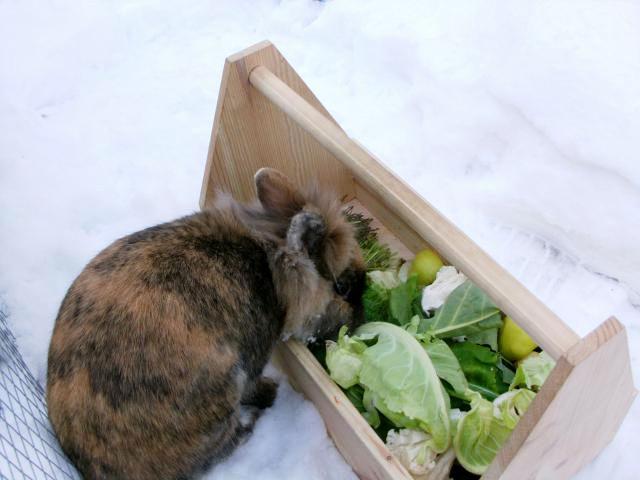 Kaninchen braun frisst im Schnee