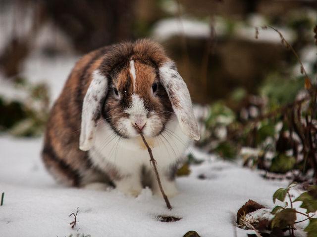 Kaninchen braun gescheckt im Schnee