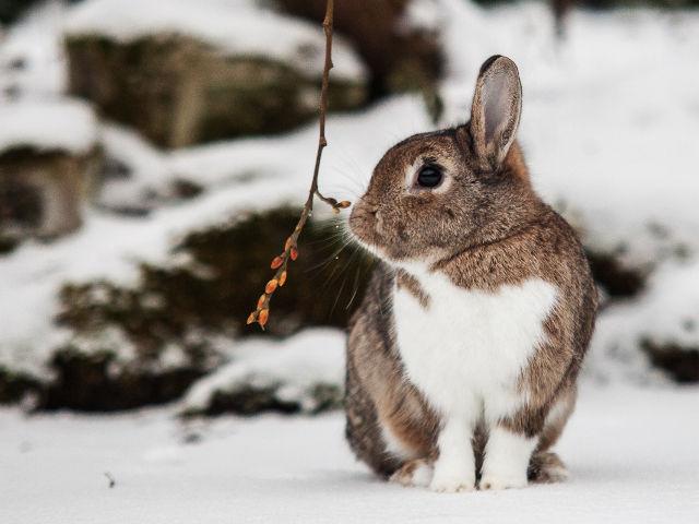Kaninchen braun im Schnee 2