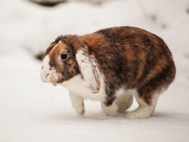 Kaninchen braun im Schnee