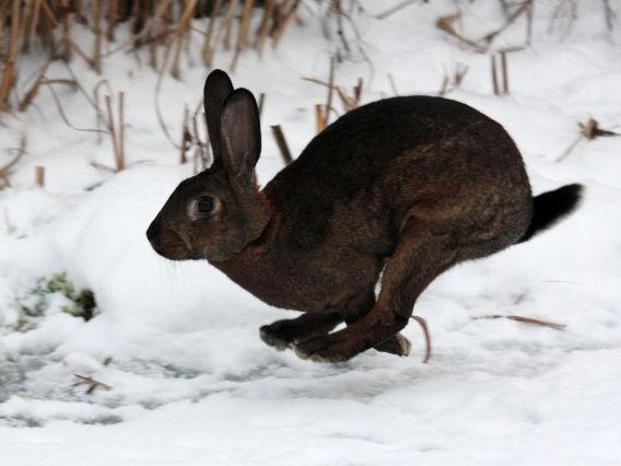 Kaninchen braun rennt im Schnee