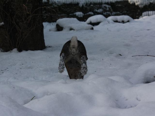 Kaninchen braun springt im Schnee