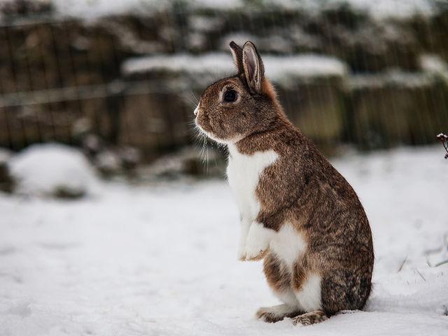 Kaninchen braun stehend im Schnee
