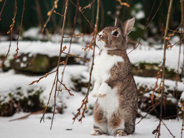 Kaninchen braun steht im Schnee