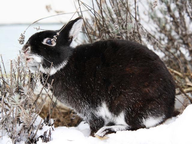 Kaninchen dunkel im Schnee