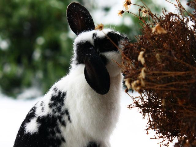 Kaninchen gescheckt frisst im Winter