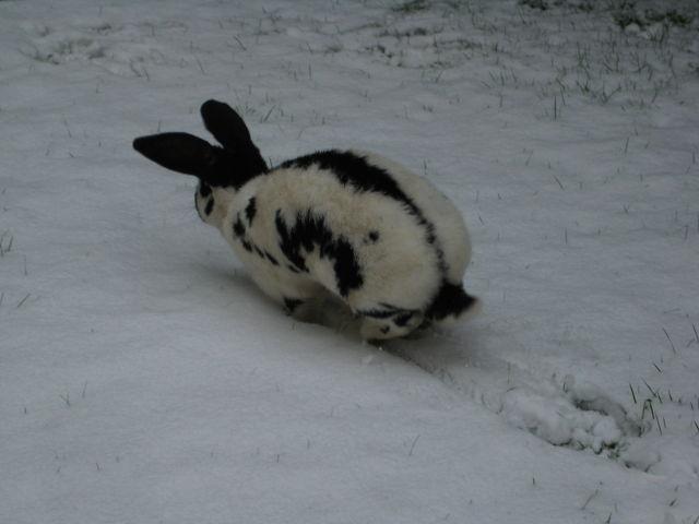 Kaninchen gescheckt im Schnee 3