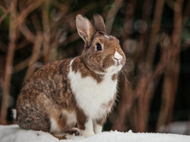 Kaninchen gescheckt im Schnee 4