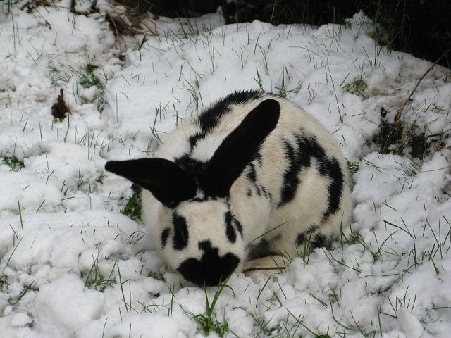 Kaninchen gescheckt im Schnee