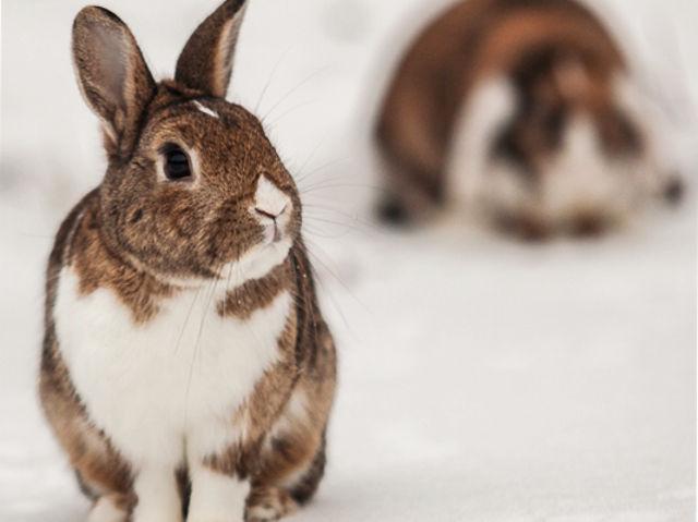 Kaninchen gescheckt im Schnee Großaufnahme