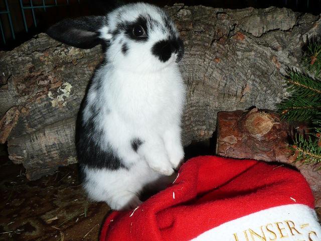 Kaninchen gescheckt mit Mütze