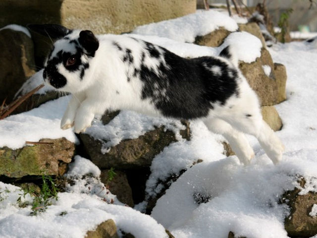 Kaninchen gescheckt springt im Schnee