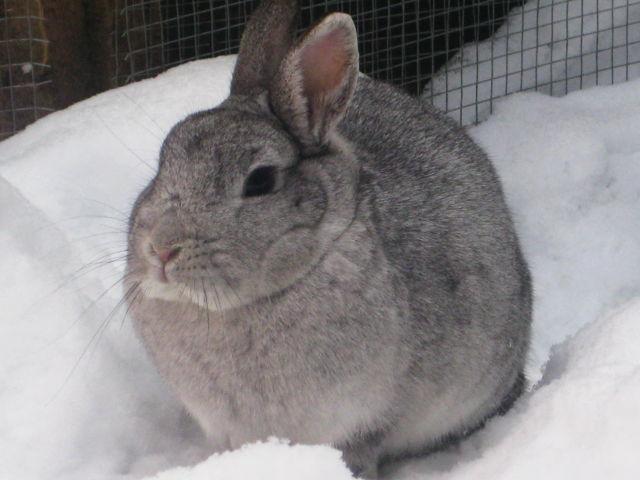Kaninchen grau im Schnee