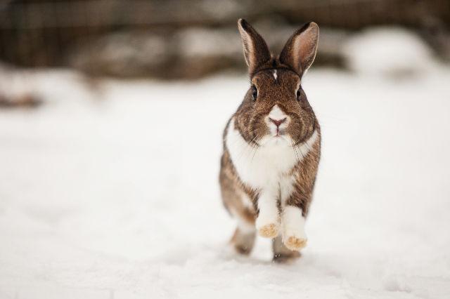 Kaninchen im Schnee 10