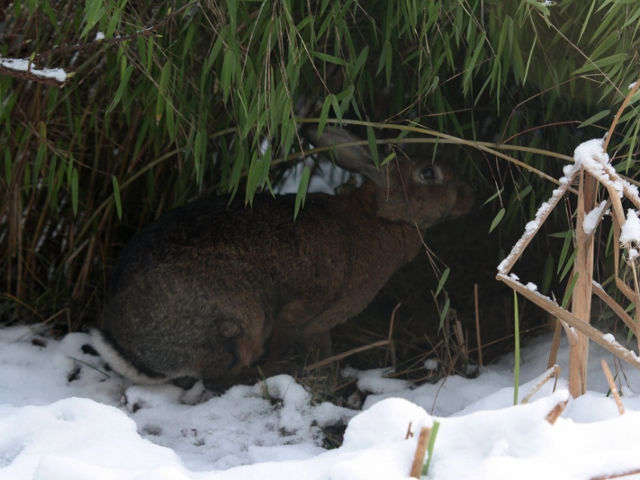 Kaninchen im Schnee 11