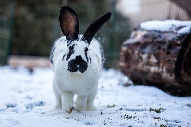 Kaninchen im Schnee 3